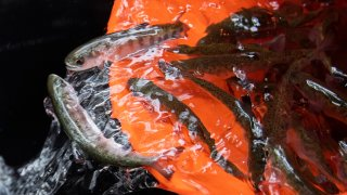 Staff with Kingfisher Flat Hatchery and Monterey Bay Salmon and Trout Project Rescue work to release 6,000 young Southern Coho Salmon.