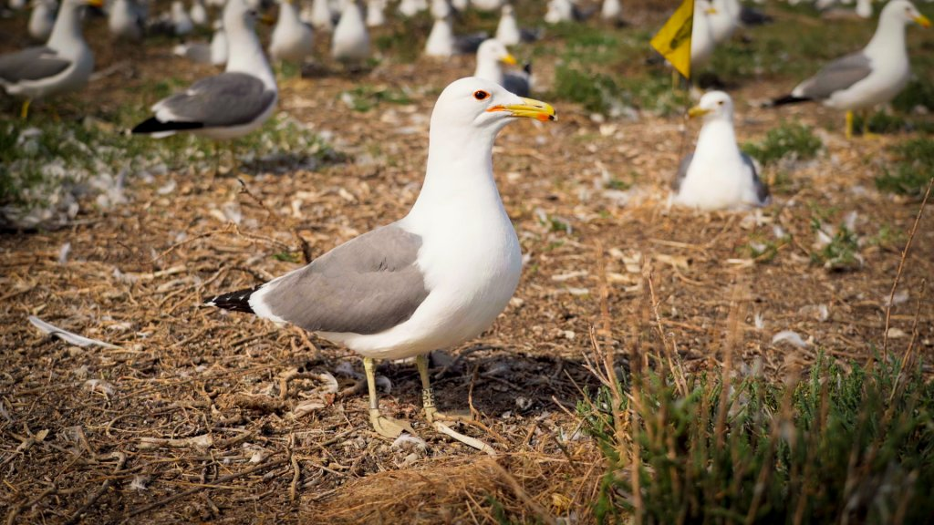 a mature seagull with a band around its ankle