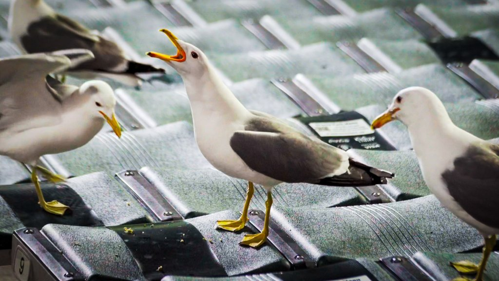 a gull squawks with its head in the air