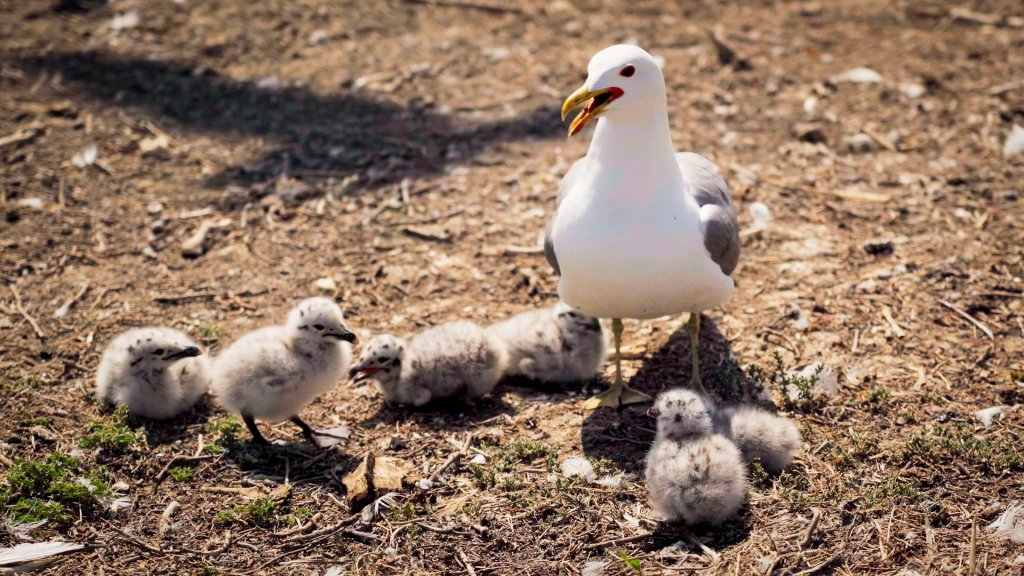 a mature California gull stands among several newly-hatched chicks