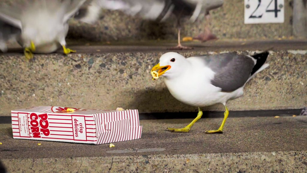 a gull on concrete steps eats spilled popcorn