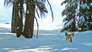A red fox walks in Yosemite National Park
