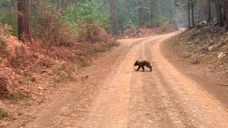 An orphaned bear cub struggles to survive as it walks alone along a mountain road impacted by the Dixie Fire in Plumas County, Calif., Sunday, Aug. 15, 2021. Thousands of Northern California homes remain threatened by the nation's largest wildfire and officials warn the danger of new blazes erupting across the West is high because of unstable weather.