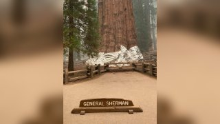 A fire-resistant blanket around the base of General Sherman Tree in Sequoia National Park.