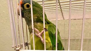 This handsome parakeet named Pepe was rescued by San Diego Humane Society Officers Joy Ollinger and Sandra Anderson after he was left behind during Caldor Fire evacuations.
