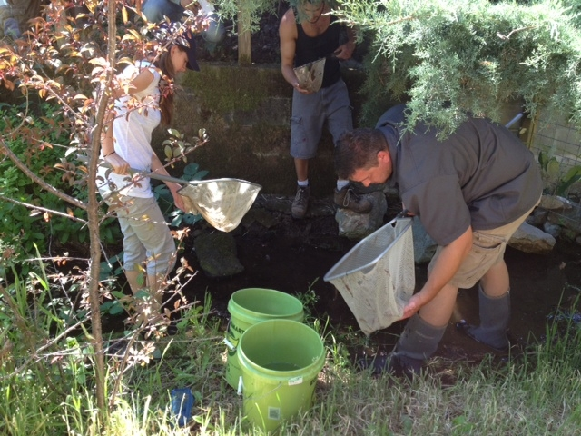 A group of volunteers from SPAWN scour a small creek for marooned fish. The Lagunitas Watershed represents one of California's last spawning grounds for endangered coho salmon.Since 1999, the Salmon P