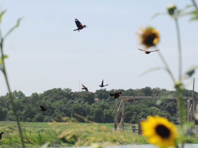 A group of Red Winged Black Birds fly across the pond at the drying beds.