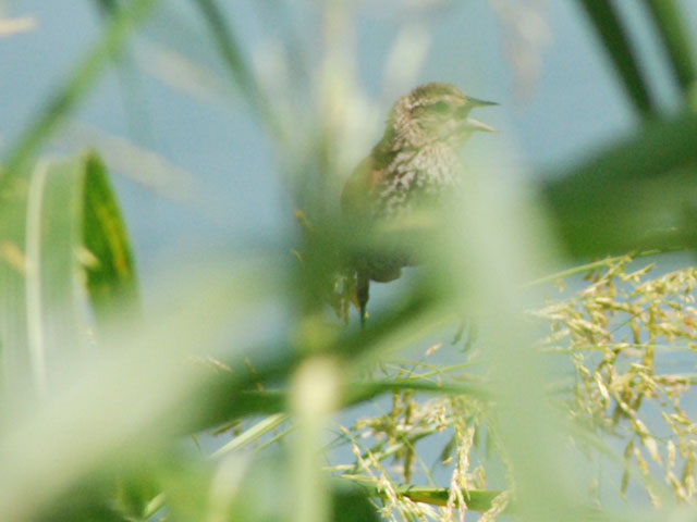 A juvenile Red-winged Blackbird calls out from the tall grass at the drying beds.