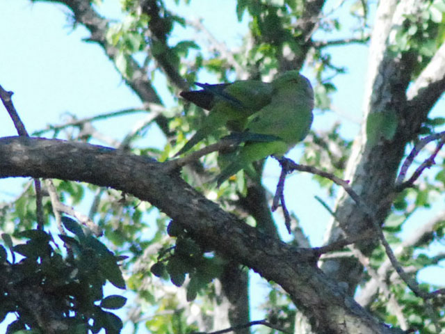 Though sometimes considered an agricultural pest, some homeowners have let a family of Monk Parrots nest near their home for a long time.