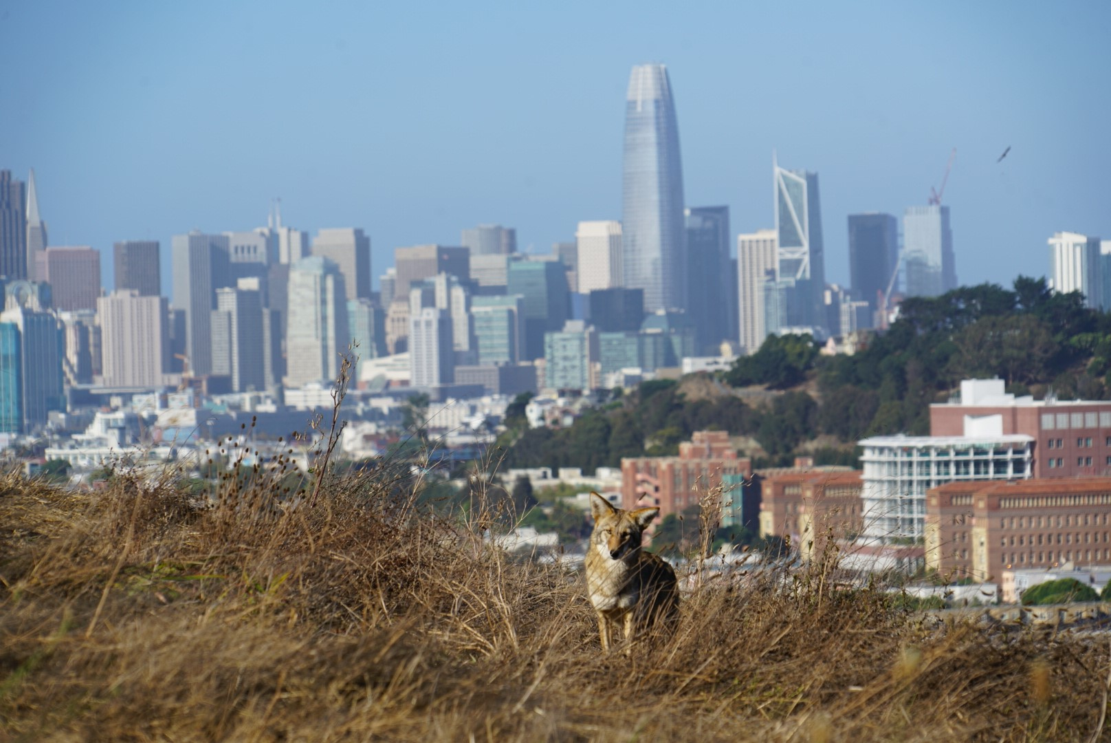 Spotted: Coyotes on Bernal Heights Hill in San Francisco