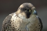 People Who Disturb Falcons Can Be Ticketed By Park Rangers
