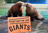 Walruses, Tiger, Dolphin Root on San Francisco Giants