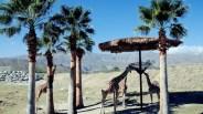 Living Desert Giraffes