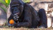 Vila-Gorilla-San-Diego-Zoo