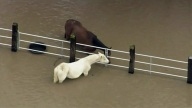 Two horses are seen stranded in San Jose floodwaters.