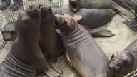 Recovering Veterans Help Sick Sea Lions Return to the Ocean