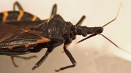 Deadly 'Kissing Bug' Spreads Into California