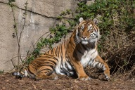 7-29-16-global tiger day-save wild tigers-1