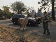 Animal Services Herds Llama
