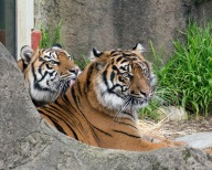 7-29-16-global tiger day-save wild tigers-2