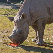 SF Zoo's New Rhino Will Eat Ravens