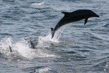 Bottlenose Dolphin Treats Sailors in SF Bay