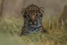 Newborn Jaguar Cub Debuts at San Diego Zoo