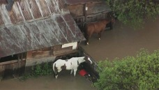 Horses Stranded in San Jose Floods