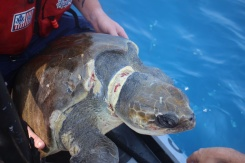 To the Rescue: Coast Guard Crews Save Entangled Sea Turtles