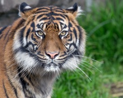 It's Global Tiger Day, Save Wild Tigers