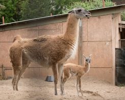 San Francisco Zoo Announces Baby Guanaco