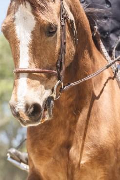 Horse Show at the 2016 San Mateo County Fair