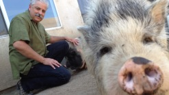 Pet Pigs Stench Has Neighbors Fuming