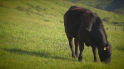 Lawsuit Sparks Debate Over Cattle Ranching at Point Reyes