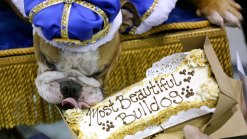 Rescue Dog Vincent Crowned 'Beautiful Bulldog'