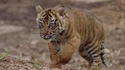 3 Sumatran Tiger Cubs Born at San Diego Zoo