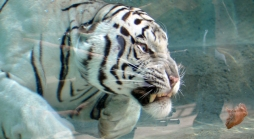 Rare Tiger Gets His Own Temple