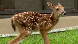 Trooper Saves Adorable Baby Fawn After Pregnant Deer Hit by Car