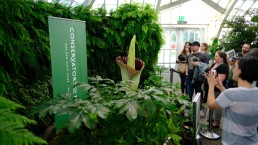 Corpse Flower Blooms Again in San Francisco