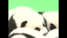 23 Giant Panda Cubs Make Public Debut