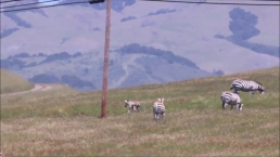 Watch: Baby Zebra Runs Around in Hearst Castle
