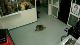 Koala Bear's Unexpected Visit to a Hospital, Caught on Camera