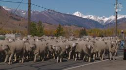 They're Baaack: Sheep Flock Makes Yearly Trek Through Town