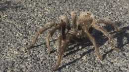 Tarantula Mating Season Invades Stanford Dish