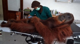 Unbelievable Animal Stories: Bullet-Riddled Orangutan Rescued