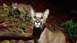 Northern California Mountain Lion Kittens Captured on Camera