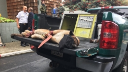 Mountain Lion in SF's Diamond Heights Tranquilized, Captured