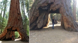 Storm Topples Giant 'Tunnel Tree' in Northern California