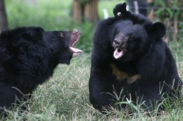 Hungry Bears Plague Northern California