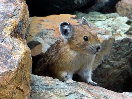 Group Sues to Protect Cute California Rodent